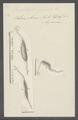 Amphileptus fasciola - - Print - Iconographia Zoologica - Special Collections University of Amsterdam - UBAINV0274 113 11 0003.tif