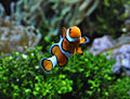 Amphiprion ocellaris.jpg