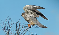 Amur Falcon Female (Falco amurensis) (6021426429).jpg