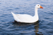 Domestic Greylag Goose - Photo (c) Nithisha Nantha Kumar, some rights reserved (CC BY-SA)
