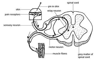 Spinal interneuron