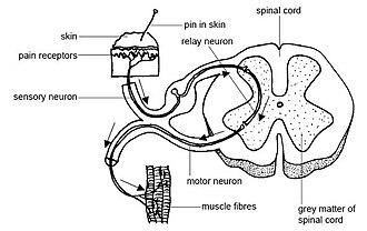 Spinal interneuron - Spinal interneuron integrates sensory-motor input