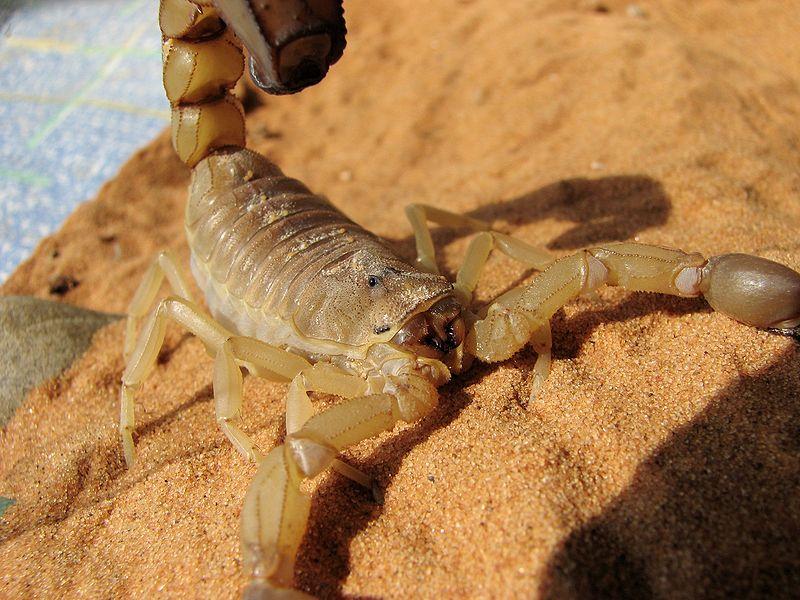 File:Androctonus australis 02.JPG