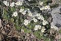 Androsace villosa (Zotten-Mannsschild) IMG 0325.jpg