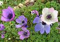 Anemone coronoria - 1.jpg