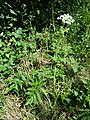 Angelica sylvestris subsp. sylvestris sl10.jpg