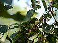 Anogeissus latifolia (15137241097).jpg