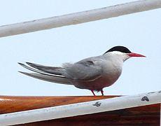 Antarctic tern - Sterna vittata.jpg