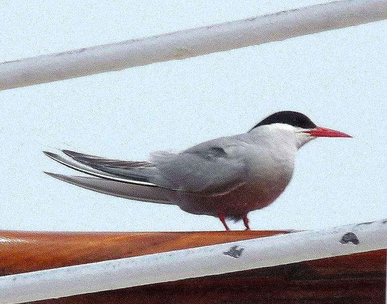 Ficheiro:Antarctic tern - Sterna vittata.jpg