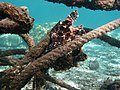 Antennarius pictus Réunion.jpg