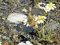 Anthemis arvensis y Issoria lathonia.101 - Ponferrada.jpg