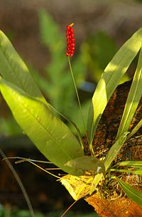 Anthurium gracile