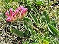 Anthyllis vulneraria subsp. vulnerariodes. Vulneraria.jpg