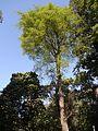 Antiaris toxicaria Lesch. (8364260427).jpg