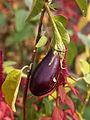 Aomaro - solanum melongena (Aubergine violette).JPG