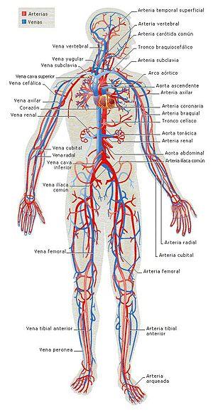 Anatomía/Texto completo - Wikilibros
