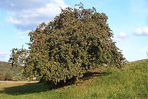 Barnstokkr - An apple tree in Germany.