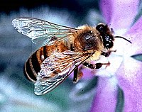 European honey bee, state insect