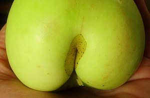 Apple - Flickr - Stiller Beobachter (1).jpg