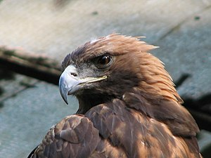 Golden eagle (Aquila chrysaetos), Tierpark Ber...