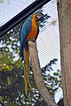 Ara ararauna (bleu) (Zoo-Amiens).JPG