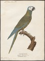 Ara manilata - 1842-1855 - Print - Iconographia Zoologica - Special Collections University of Amsterdam - UBA01 IZ18500101.tif