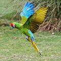 Ara militaris -Whipsnade Zoo -flying-8a-4c.jpg