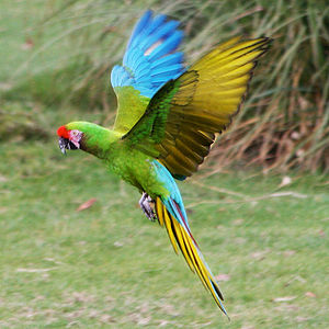 Military macaw - Flying at Whipsnade Zoo