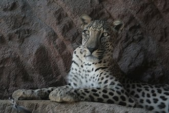 Arabian leopard - The leopard is among the endangered species kept at the Al Hefaiyah Conservation Centre at Kalba, Emirate of Sharjah