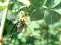 Araignée de concombre (Araniella).jpg