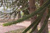 Araucaria araucana (Araucaria du Chili) - 98.jpg