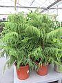 Araucaria heterophylla in a garden centre.jpg