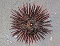 Arbacia punctulata (purple sea urchin) (Sanibel Island, Florida, USA) 1 (25087890062).jpg