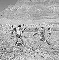 Arbeiders maken akkers vrij van stenen bij kibboets Ein Gidi, Bestanddeelnr 255-2734.jpg