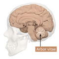 Arbor vitae - lateral view.png