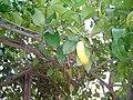 Arbre citron.jpg