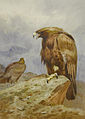 Archibald Thorburn, Pair of Golden Eagles. Bonhams.jpg