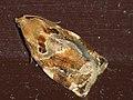 Archips xylosteanus ♀ - Variegated golden tortrix (female) - Листовёртка-толстушка пестрозолотистая (самка) (40585281454).jpg