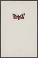 Arctia - Print - Iconographia Zoologica - Special Collections University of Amsterdam - UBAINV0274 003 05 0008.tif