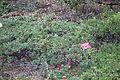 Arctostaphylos mendocinoensis (Arctostaphylos nummularia subsp. mendocinoensis) - Regional Parks Botanic Garden, Berkeley, CA - DSC04397.JPG