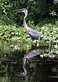 Ardea herodias (panting in water).jpg