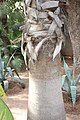 Arecales - Washingtonia robusta - 3.jpg