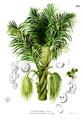 Arenga pinnata Blanco2.419.png