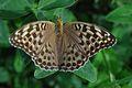 Argynnis paphia Roederhof.jpeg