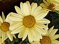 Argyranthemum frutescens - amarillo (8616684075).jpg