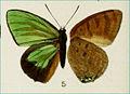 ArhopalaBorneensisBB1896MUp.jpg