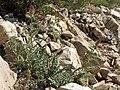 Arizona thistle, Cirsium arizonicum var. arizonicum (27625658239).jpg