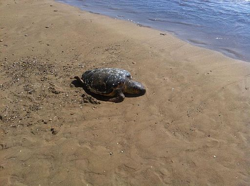 Arkoudilas beach in Corfu, with a sea turtle.