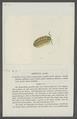 Armadillo astriger - - Print - Iconographia Zoologica - Special Collections University of Amsterdam - UBAINV0274 098 09 0005.tif