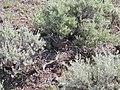 Artemisia tridentata wyomingensis and rattlesnake (4010014897).jpg